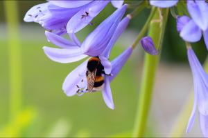 Bumblebee,マルハナバチ,子育てポケットノート第100回記念