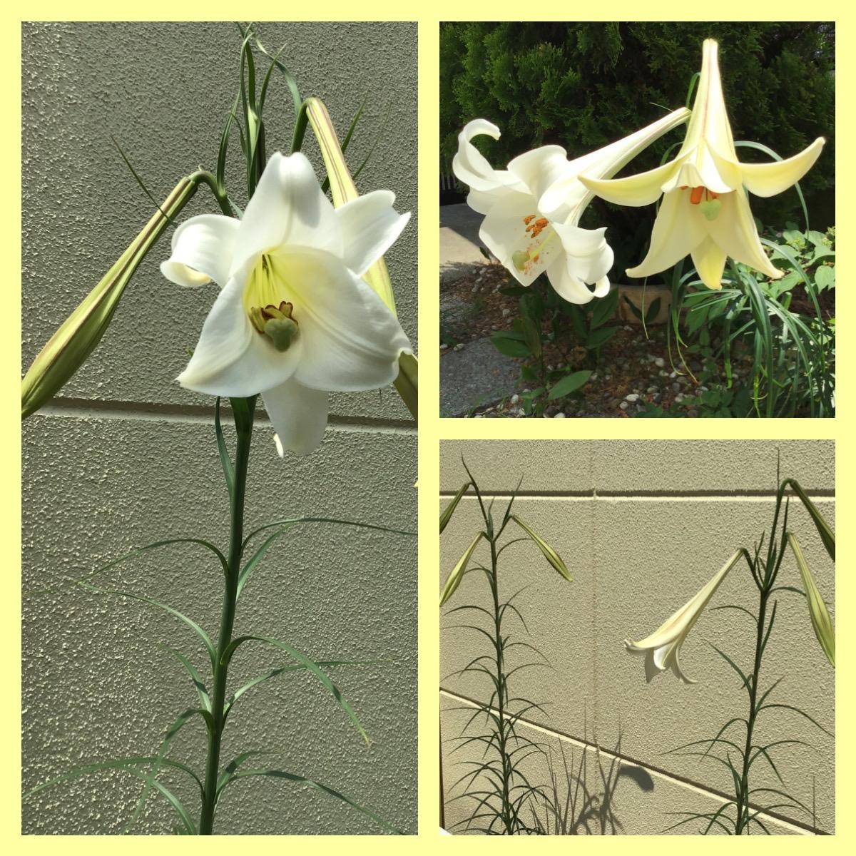 庭のゆり,自由に咲く,30本ぐらい,穏やかに