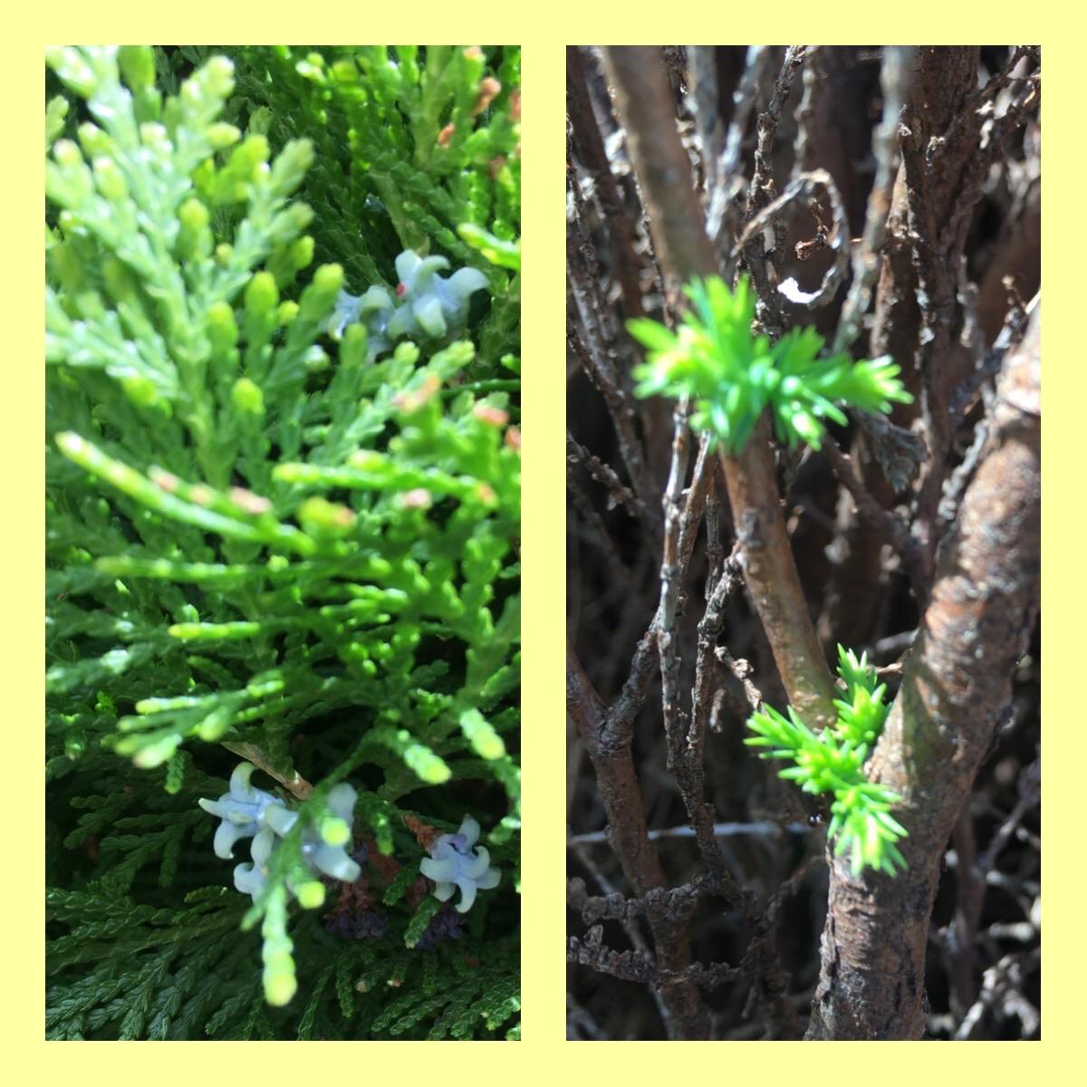 ヒバ,実,新芽,剪定から半月,