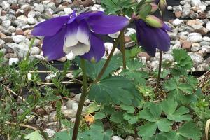 コロナ禍をコロナ花に,庭のおだまきそう
