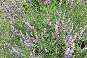 梅雨本番,ラベンダー,ミツバチ